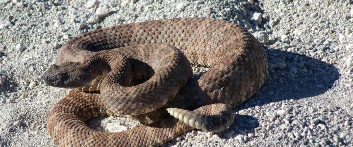 Rattlesnake savvy