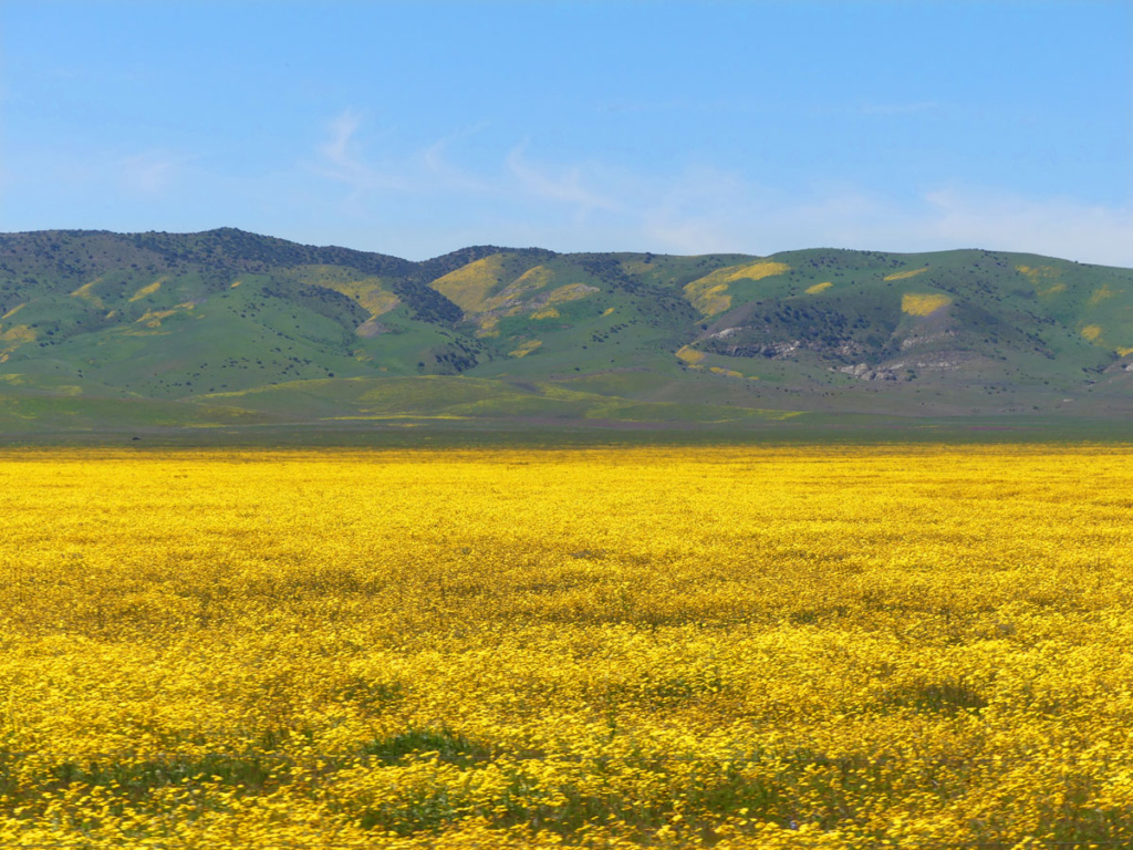 Wildflowers carpet the Carrizo plains