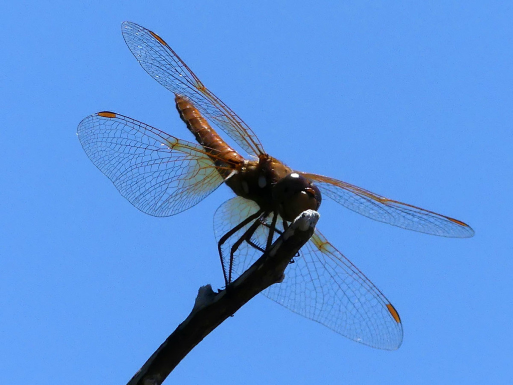 orange dragonfly against a blue sky
